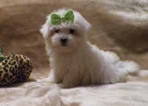 Teddy, Maltese Male