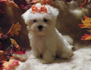 Carter, Male, Maltese