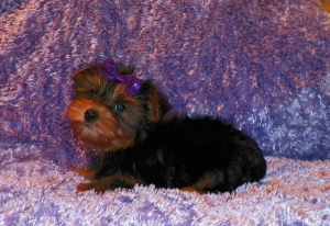 Yorkshire Terrier, Female, Bridget